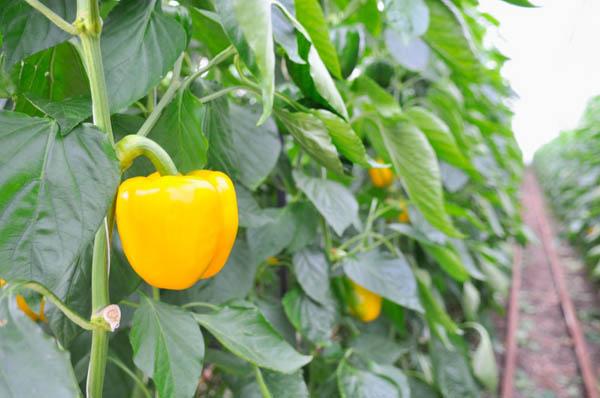 how to eat a star fruit avocado fruit or veggie